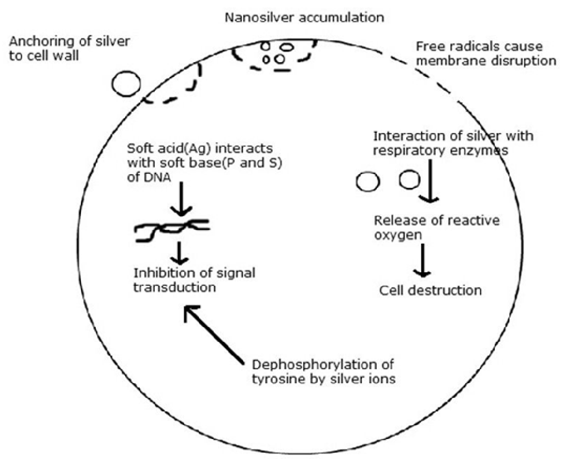 Figure 1 Various modes of action of silver nanoparticles on bacteria.