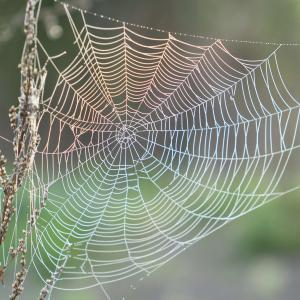 Spider Silk Proteins