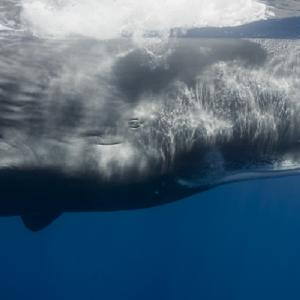 polyhalogenated compounds in sperm whale blubber