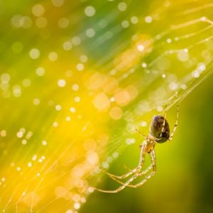 Close up of forest spider in cobweb after rain