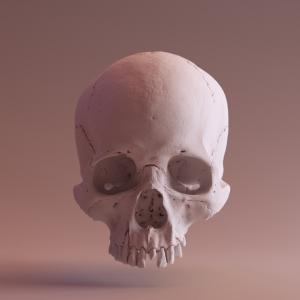 Skull from the front