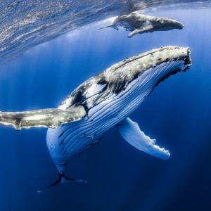 Humpback mother and calf, with a snorkeler, in Tonga