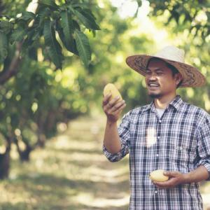 Young Asian Thai farmer picking mango fruit in organic farm
