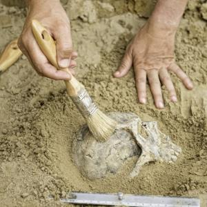 Anthropology - hands of an anthropologist revealing human skull from dirt